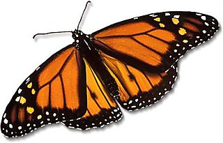 Monarch-butterfly_large